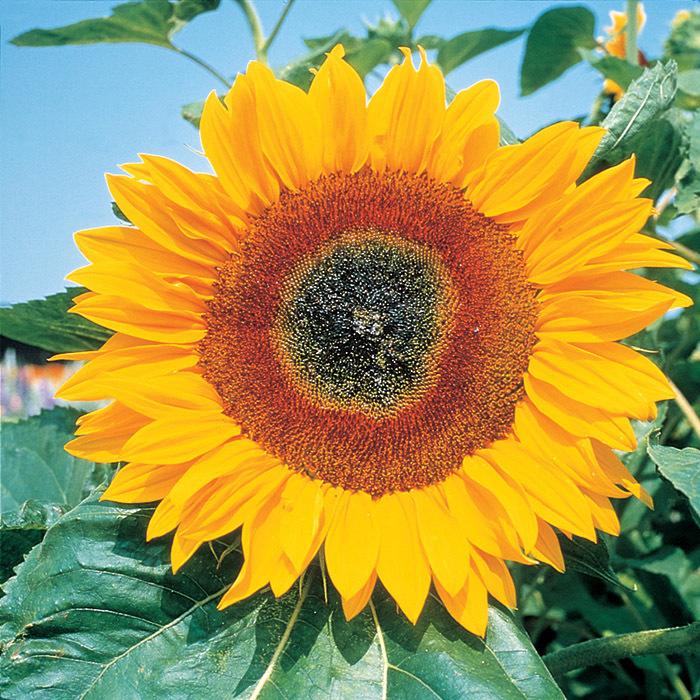 Full Sun Improved Hybrid Sunflower