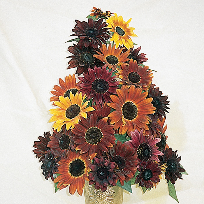 Infrared Mix Hybrid Sunflower
