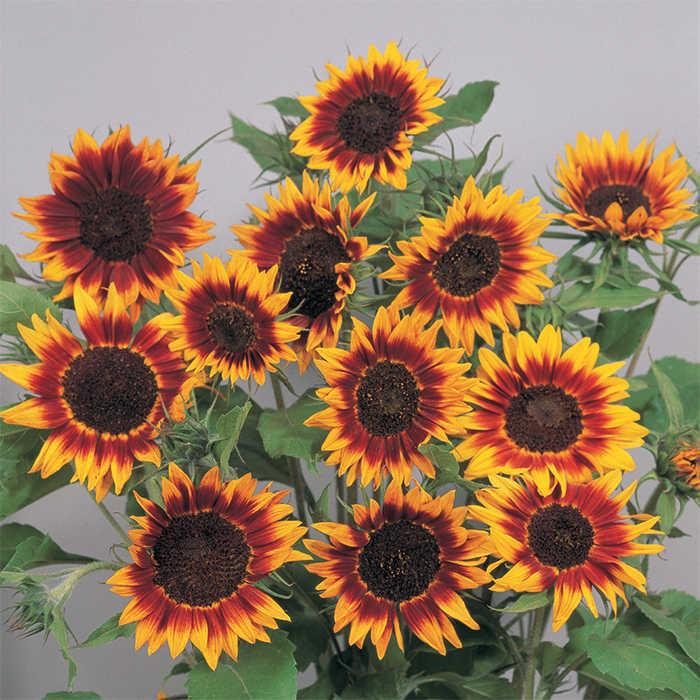 Ring Of Fire Sunflower