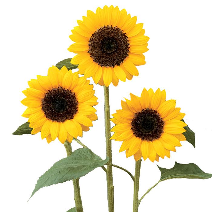 Sunrich Orange Dmr Hybrid Sunflower