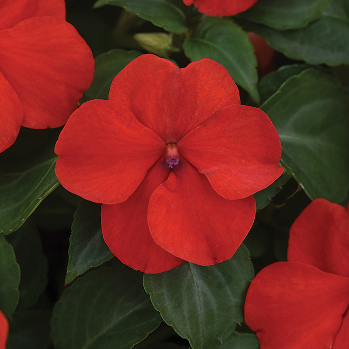 Beacon Bright Red Hybrid Impatiens