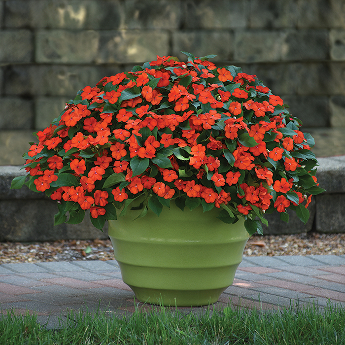 Beacon Orange Hybrid Impatiens