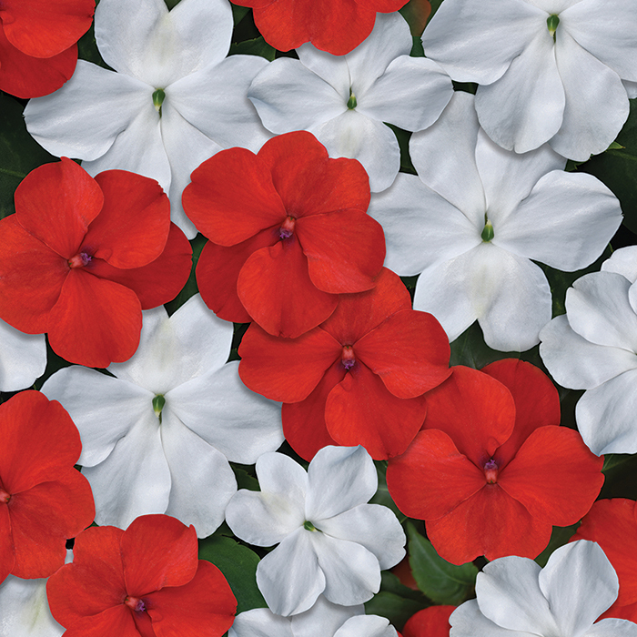Beacon Red & White Mix Hybrid Impatiens