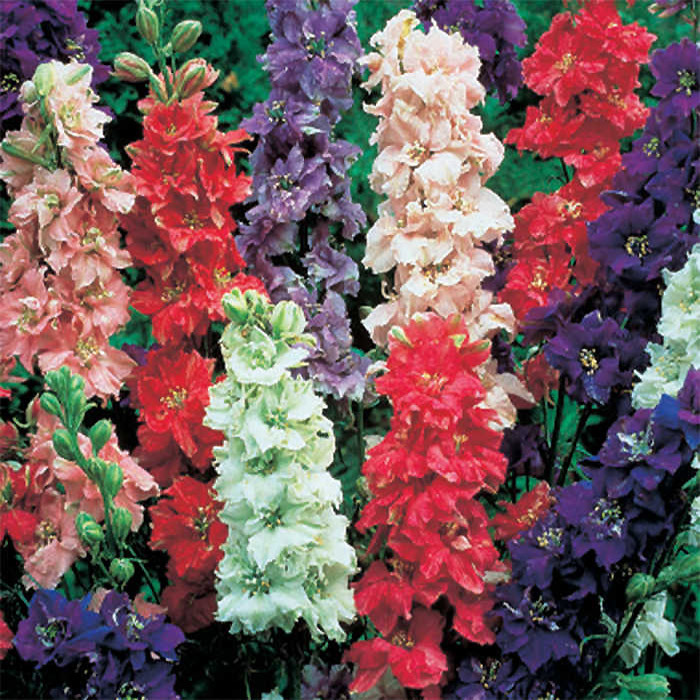 Giant Imperial Mix Larkspur
