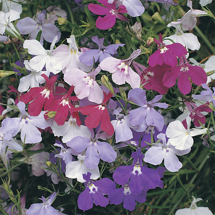 Color Cascade Mix Lobelia
