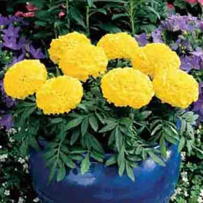 Yellow Antigua Marigold