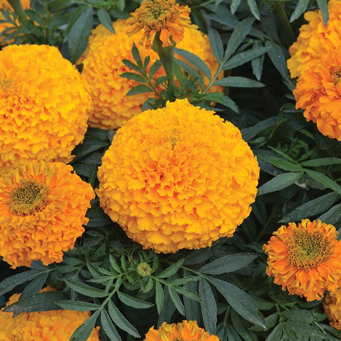 Big Duck Orange Hybrid Marigold