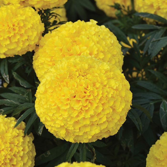 Big Duck Yellow Marigold