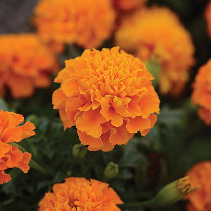 Hot Pak Orange Marigold