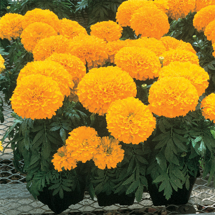 Inca 2 Gold Hybrid Marigold