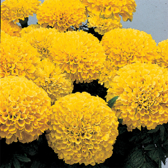 Inca 2 Yellow Hybrid Marigold