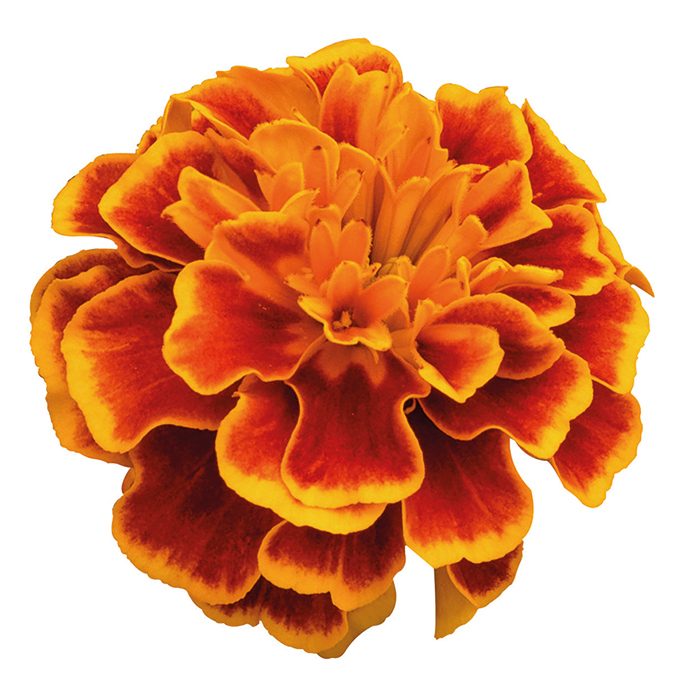 Super Hero Orange Flame Marigold
