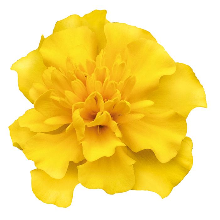 Yellow Super Hero Marigold