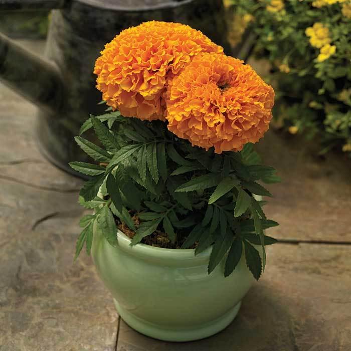 Proud Mari Orange Hybrid Marigold