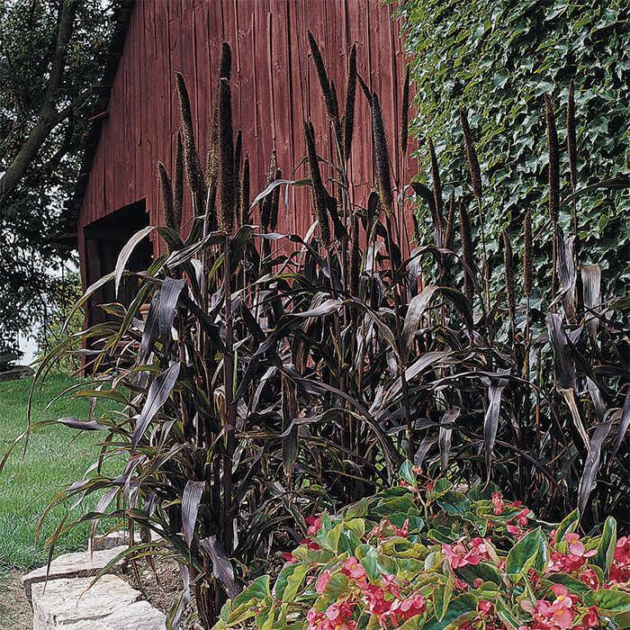 Purple Majesty Hybrid Ornamental Millet