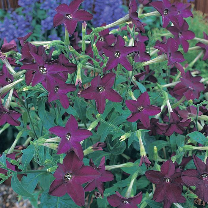 Perfume Deep Purple Hybrid Nicotiana