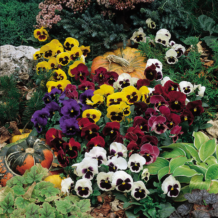 Colossus Mix Hybrid Pansy