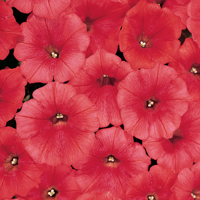Avalanche Red Hybrid Petunia