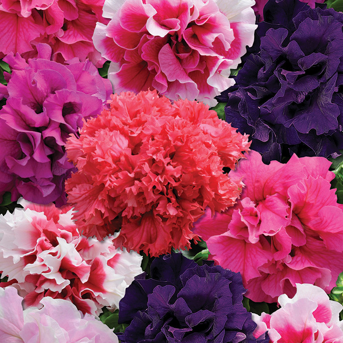 Glorious Mix Hybrid Petunia