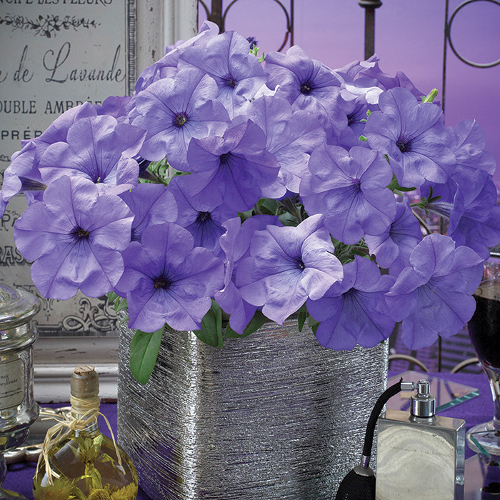 Evening Sensation Multiflora Petunia