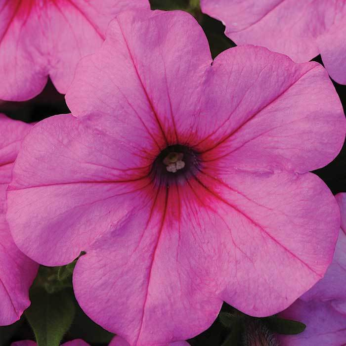 Ez Wave Pink Passion Petunia