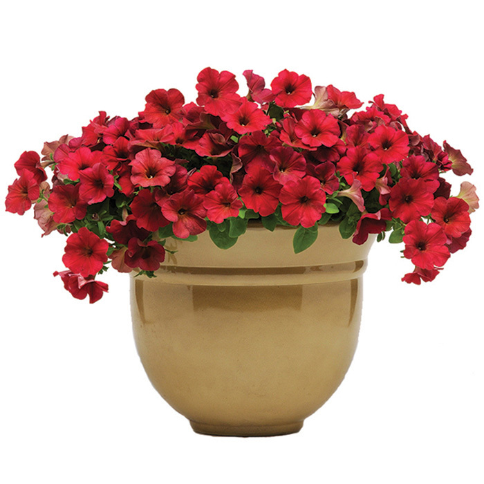Easy Wave Velour Berry Hybrid Petunia