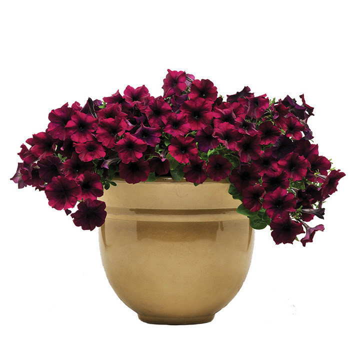 Easy Wave Velour Burgundy Hybrid Petunia