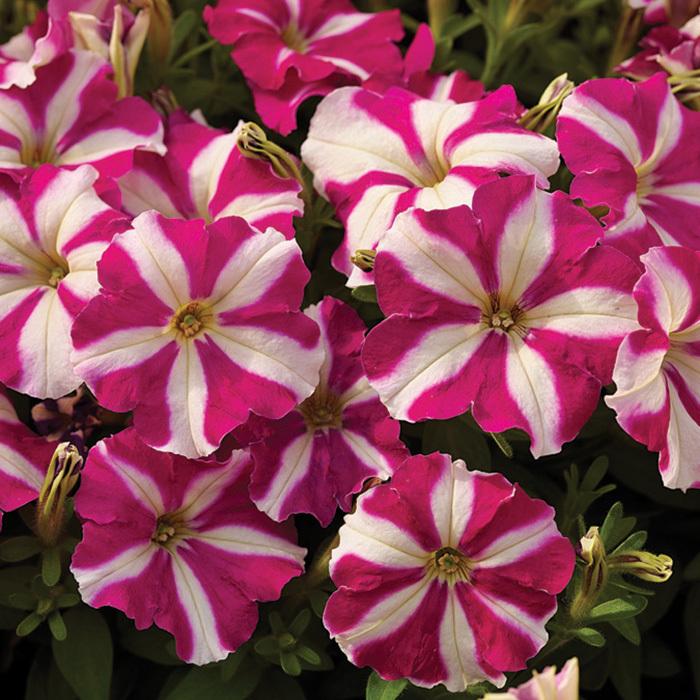 Picobella Rose Star Petunia
