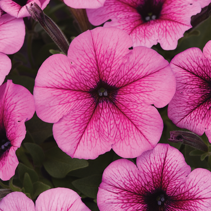 Easy Wave Rose Fusion Hybrid Petunia