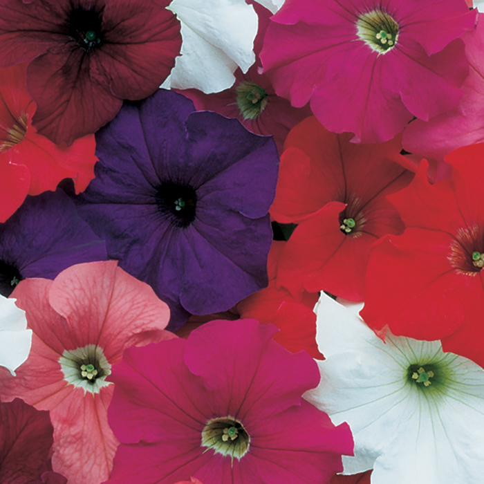 Dreams Mix Hybrid Petunia