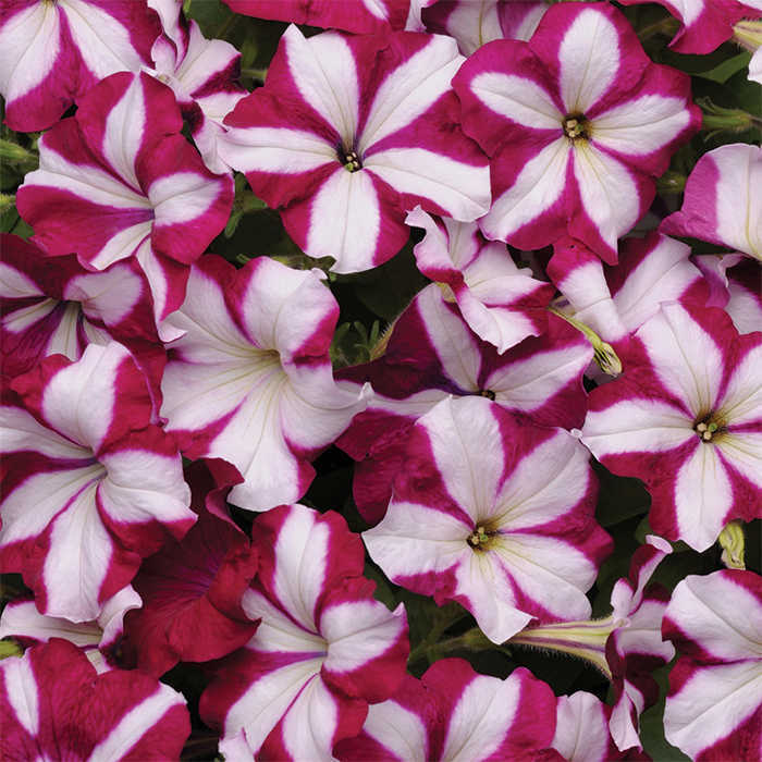 Easy Wave Burgundy Star Hybrid Petunia