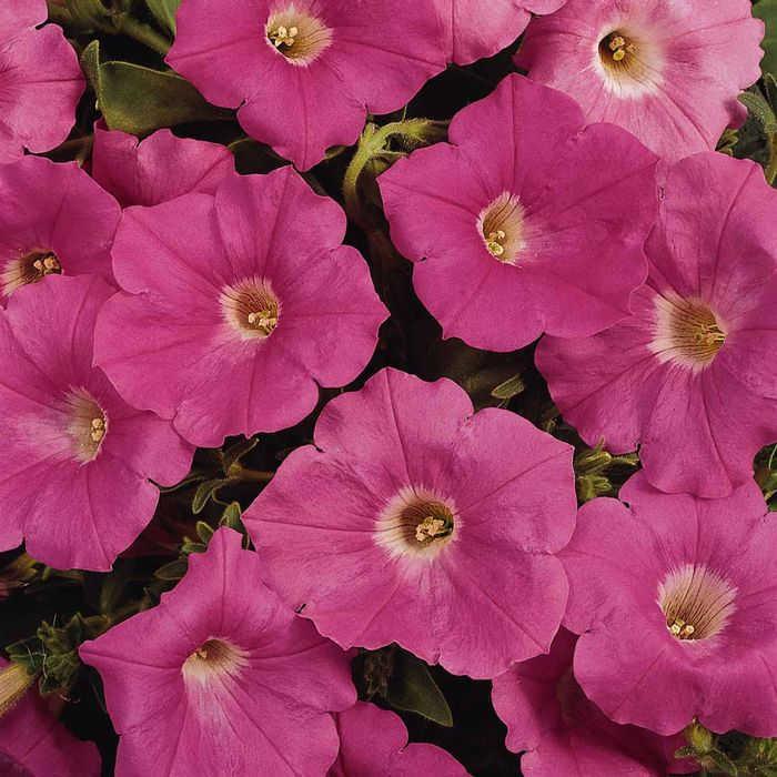 Easy Wave Pink Hybrid Petunia