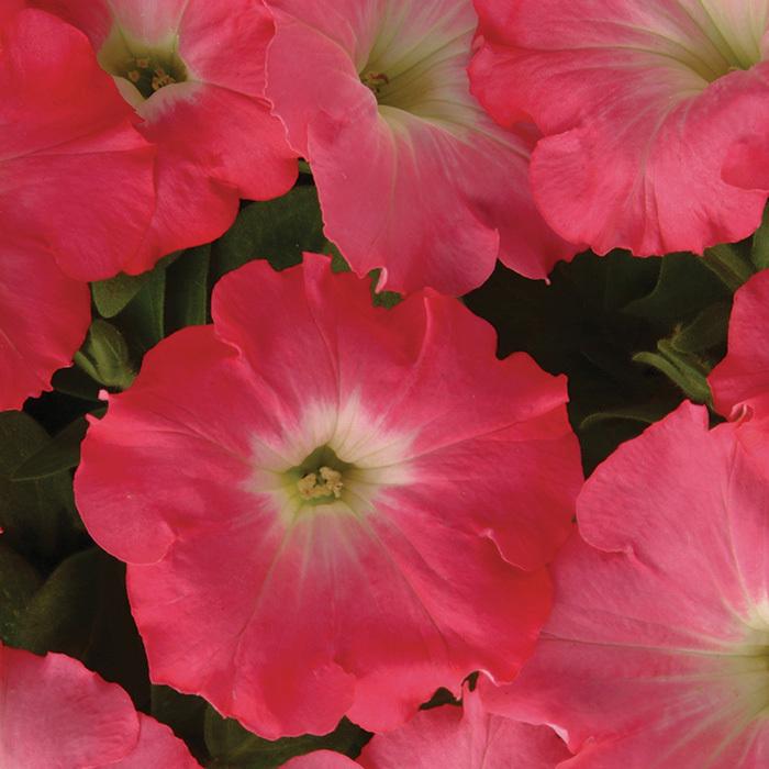 Easy Wave Rosy Dawn Hybrid Petunia