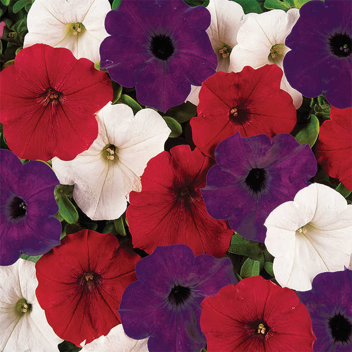 Easy Wave The Flag Mix Hybrid Petunia