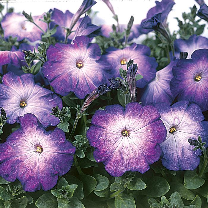 Merlin Blue Morn Petunia