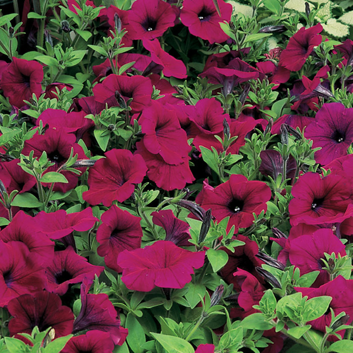 Ramblin' Burgundy Chrome Hybrid Petunia