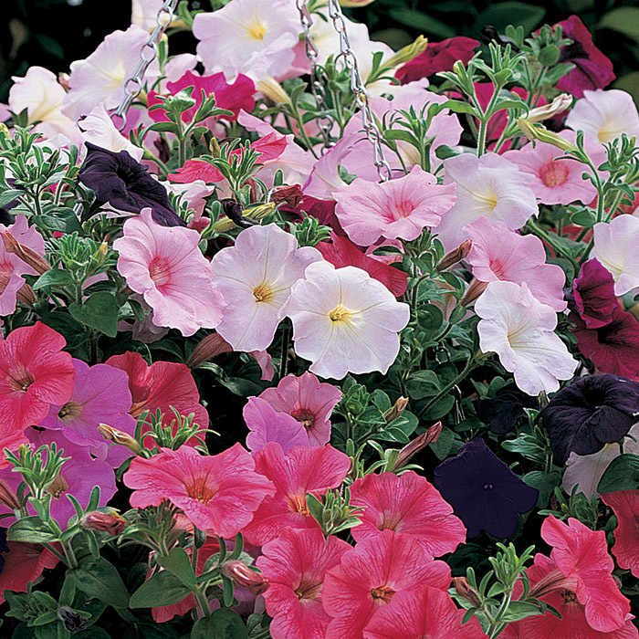 Ramblin' Mix Hybrid Petunias