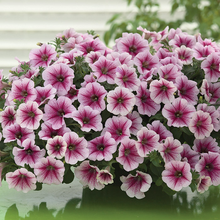 Opera Supreme Raspberry Ice Improved Hybrid Petunia
