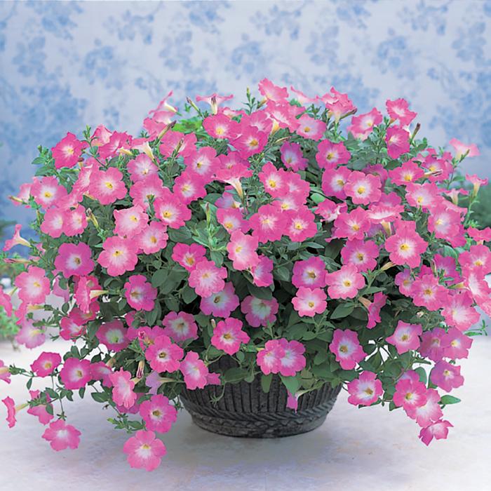 Opera Supreme Pink Morn Hybrid Petunia