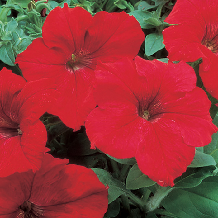 Red Supercascade Hybrid Petunia