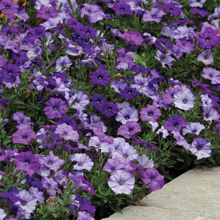 Shock Wave Denim Hybrid Petunia