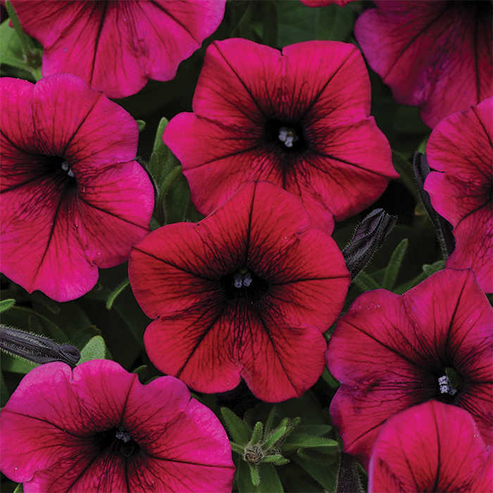 Shock Wave Deep Purple Hybrid Petunia