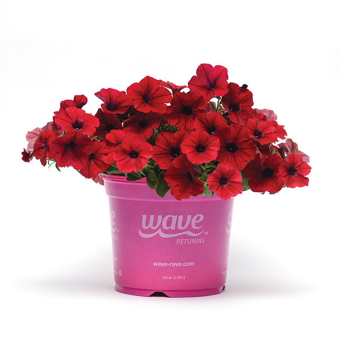Tidal Wave Red Velour Hybrid Petunia
