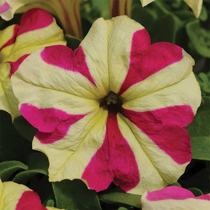 Sophistica Lime Bicolor Hybrid Petunia