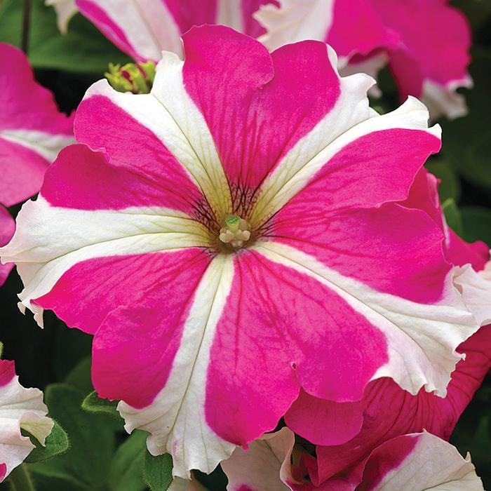Tritunia Rose Stark Hybrid Petunia