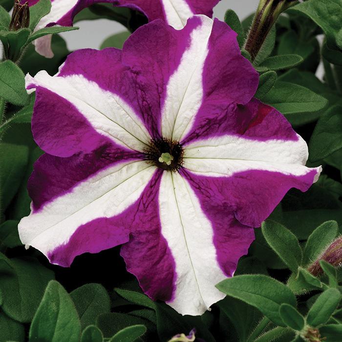 Tritunia Purple Star Hybrid Petunia