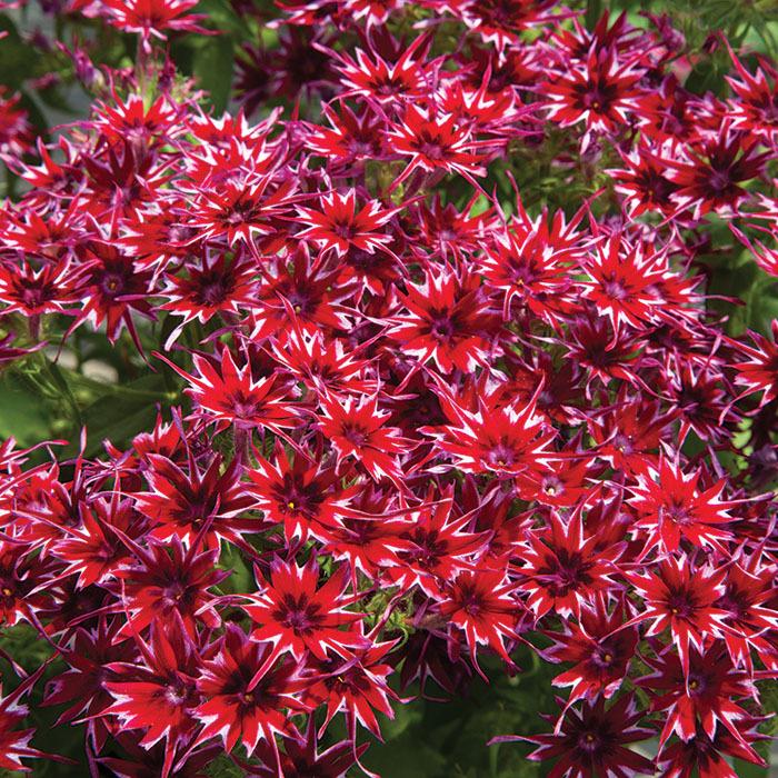 Popstar Red Hybrid Phlox