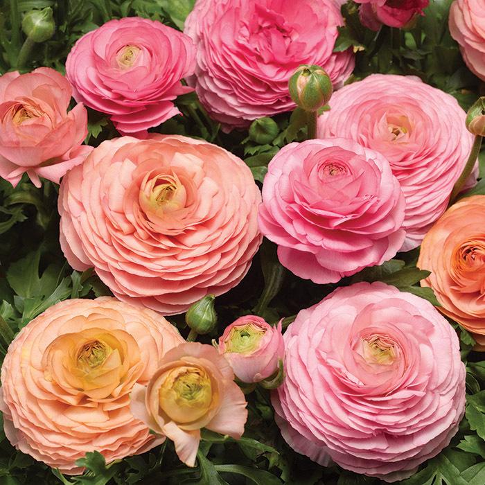 Magic Pink & Peach Hybrid Ranunculus