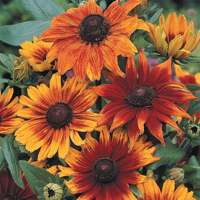 Autumn Colors Rudbeckia