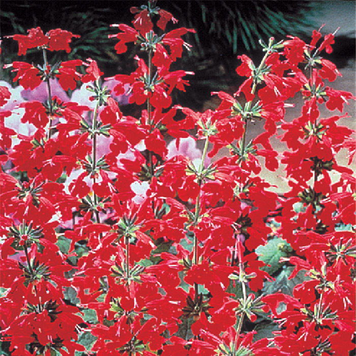 Lady In Red Salvia S Coccinea Horticultural Products Services
